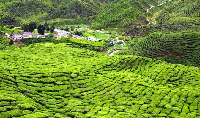 Tea Plantation Tour